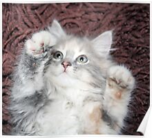 pretty grey and white kitten  Poster