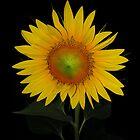 yellow beauty-sunflower by Helenvandy