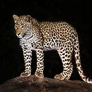 Leopard in camp by Neville Jones