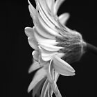 Black and White Gerbera  by Nicola  Pearson