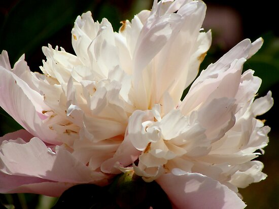 Peony Perfection (for lensbaby) by vigor