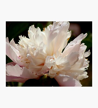 Peony Perfection (for lensbaby) Photographic Print