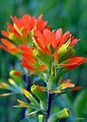 Indian Paintbrush Twins by William Martin