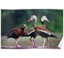 Black-Bellied Whistling Ducks  Poster