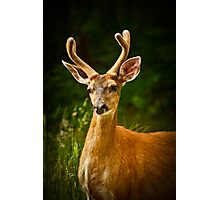 SUMMER BUCK Photographic Print