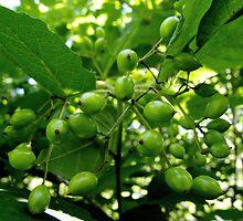 Green Berries  by Marcia Rubin