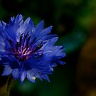 Cornflower by Lou Wilson