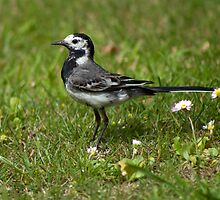 White Wagtail by TerryPatrick