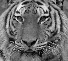 Tiger by sbarnesphotos