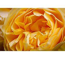 An English Rose Photographic Print