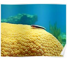 Cleaning Goby Poster