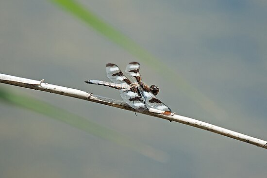 Twelve Spotted Skimmer by Mike Oxley