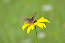 Seeing Checkerspots with a Black Eye by Mike Oxley