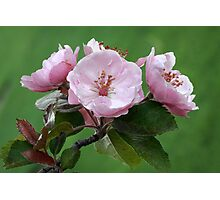 Blossom Trio Photographic Print
