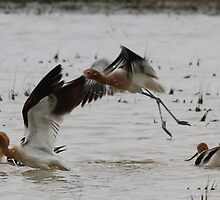 Up With the Avocets by Ken McElroy