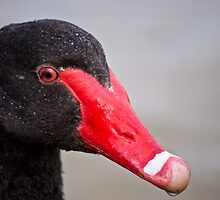 black swan by paul erwin