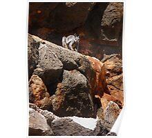 Black-flanked Rock-wallaby (Petrogale lateralis) - Mandu-Mandu Gorge, Western Australia Poster
