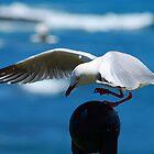 Seagull Landing On post - Phillip Island by Graeme Lawry