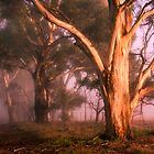 Sunlit Gum Tree - Anakie by Hans Kawitzki