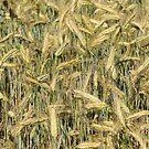 A field of grain by Bertspix1