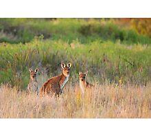 Kangaroo Family Photographic Print