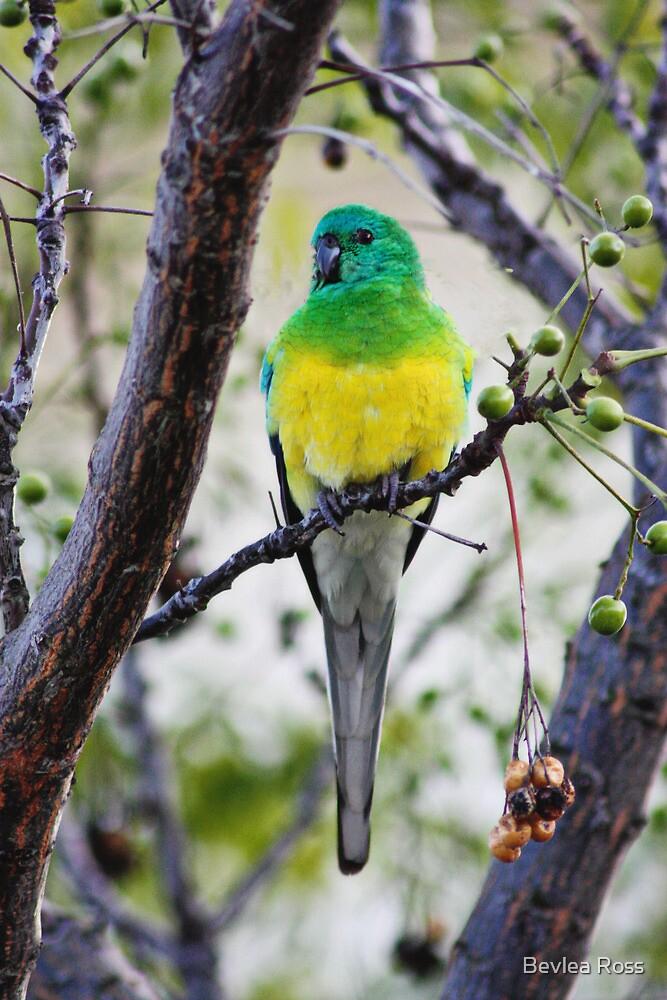 Red Rump Parrot by Bevlea Ross