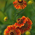 Summer Is Here - Helenium by JHRphotoART