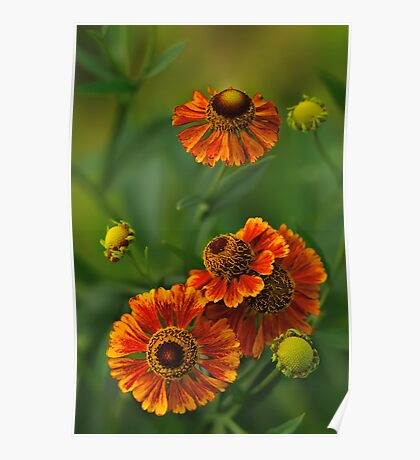 Summer Is Here - Helenium Poster