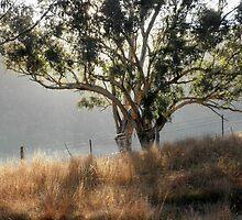 Gum Tree in the Morning Light,Tumut, Australia. by kaysharp