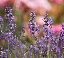 Lavender flowers by Esther  Moliné