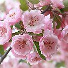 Crabapple Blooms by David Kocherhans