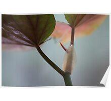 Begonia Poster