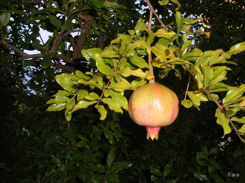 Pomegranate in a Tuscan Garden  by Fara