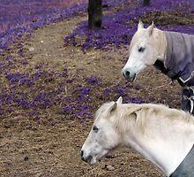 Two White Horses In Field Of Purple. by Scott Mclaren