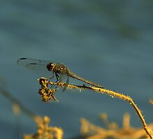 Common Baskettail by Chuck Chisler