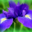 Late Spring Iris by kkphoto1