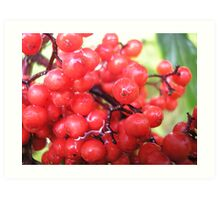 Wildberries Art Print
