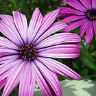 Purple Osteospermums by vivsworld