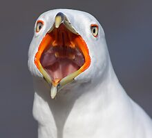Gull Portrait by MIRCEA COSTINA