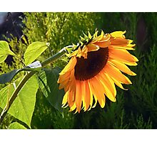 Sunflower - Helianthus  Photographic Print