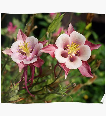 Aquilegia hybrida - Swan Red and White  Poster