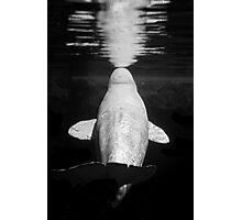 Beluga Photographic Print