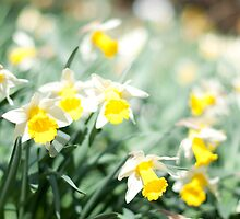 A host of golden daffodils by Marian  Hilditch