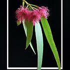 Eucalyptus Blossom by Rod Wilkinson