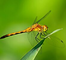 Meadowhawk by Robin Clifton