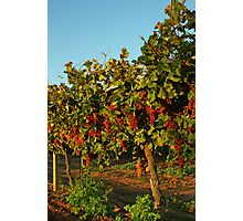 Grape Vines Photographic Print