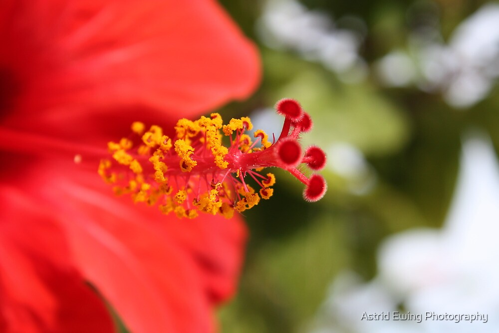 Hibiscus by Astrid Ewing Photography
