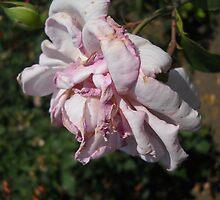 Amazing Roses # 12. by Vitta