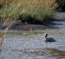 Pelican Swimming in the Marsh by MarenaAnne
