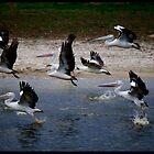 The Australian Pelican! by Anna Ryan